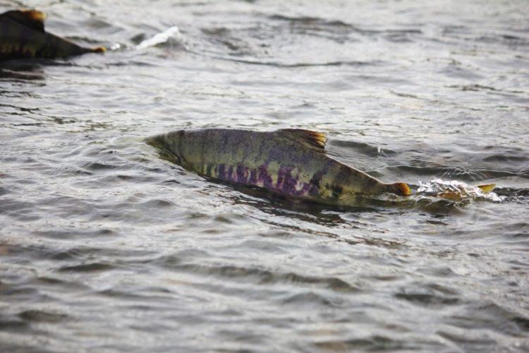 日本での鮭の遡上